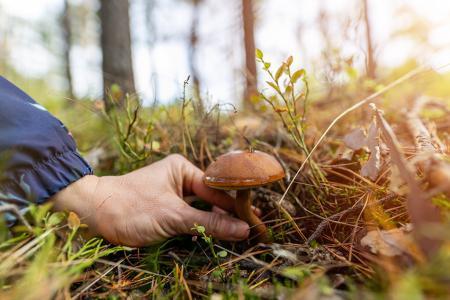 Illustration - Cueillette de champignons : déjà de